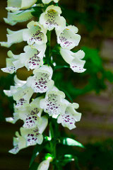foxglove by Jaypeg, Flickr